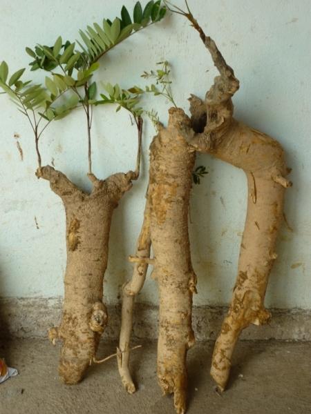 Rễ Mật Nhấn, Tốt, - tăng sinh lý tốt, sức đề kháng tốt, phòng bệnh tốt- giá rẻ