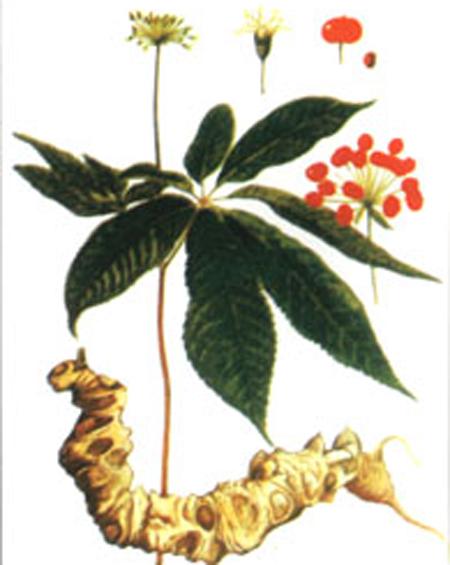 Sâm Ngọc Linh- Bồi bổ, tăng đề kháng, phòng ngừa bệnh, làm quà biếu